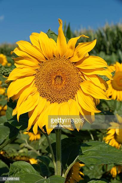 sunflower -helianthus annuus-, departement alpes-de-haute-provence, france - alpes de haute provence stock pictures, royalty-free photos & images
