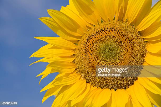 Sunflower Helianthus annuus Yellow Flowers Department 04 PACA or Provence Alpes Cote d'Azur Region South of France