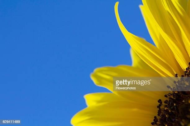 Sunflower Helianthus cultivar