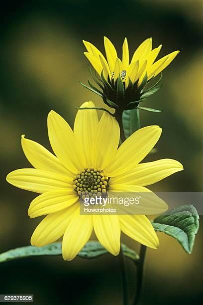 Sunflower Helianthus 'Lemon Queen'