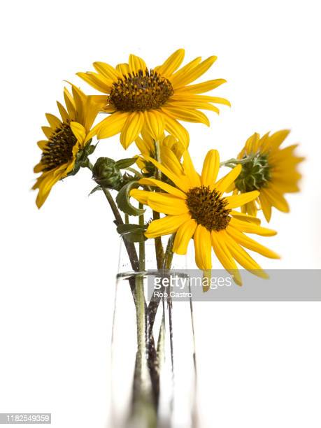 sunflower in a vase - rob castro stock pictures, royalty-free photos & images