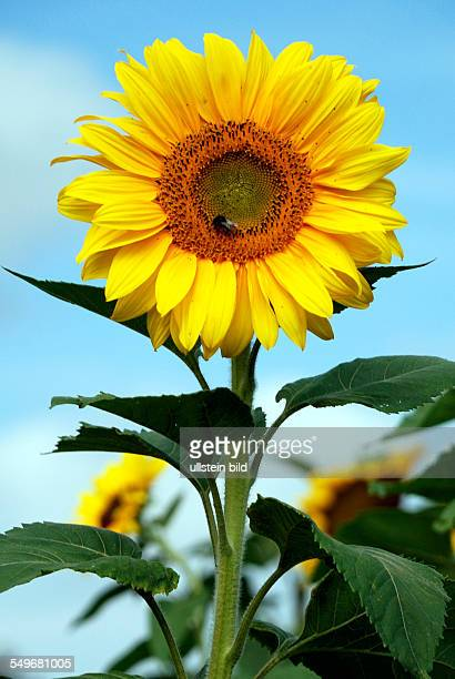 Sunflower in front of a blue sky on a summer's day in Bavaria Helianthus annuus