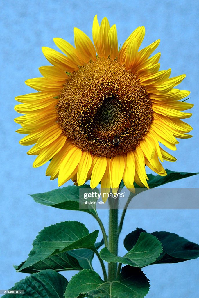 Sunflower in front of a blue sky on a summer's day in Bavaria - Helianthus annuus. : News Photo