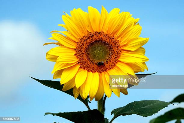 Sunflower in front of a blue sky on a summer's day in Bavaria - Helianthus annuus.