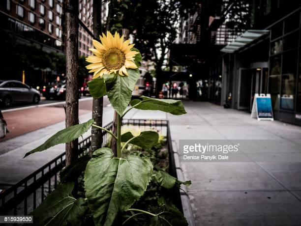 sunflower in manhattan - panyik-dale stock photos and pictures