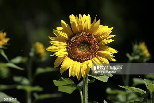 FRANCE Sunflower in Provence