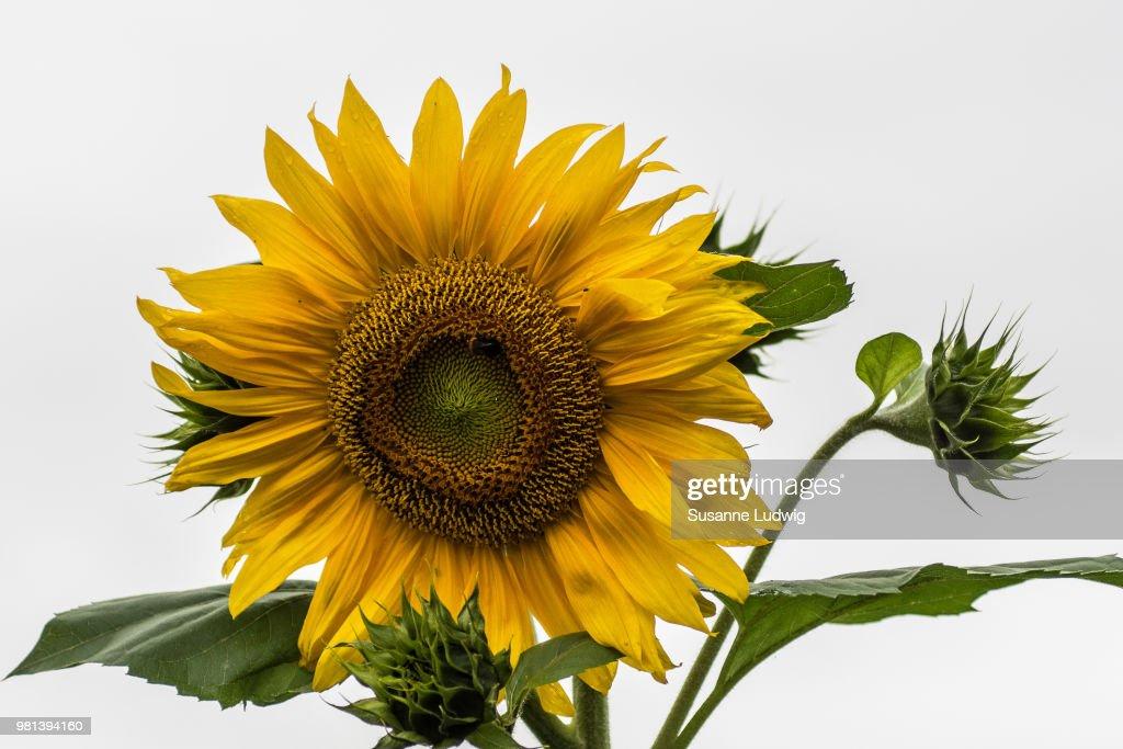 sunflower in rain : Foto de stock