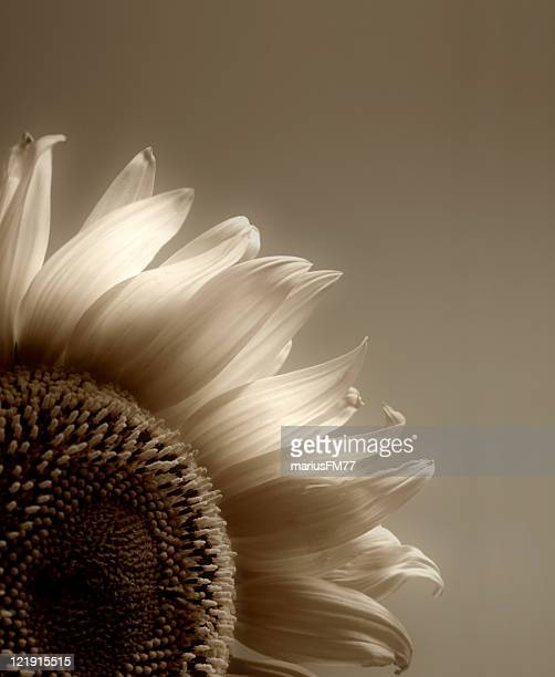 sunflower in sepia - sepia stock pictures, royalty-free photos & images