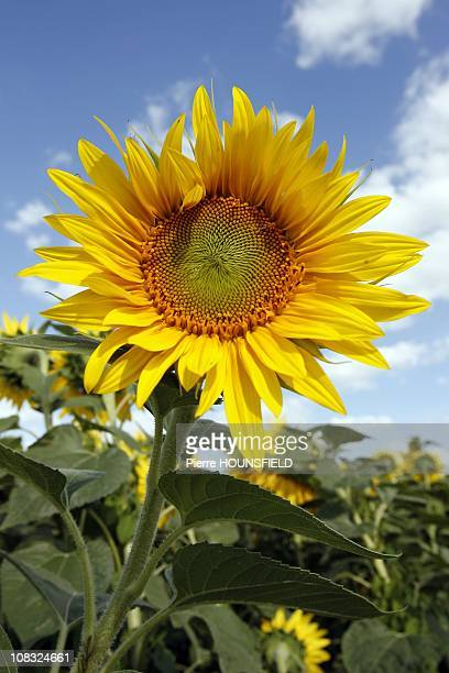 Sunflower in Tavant France on July 19th 2010 The sunflower is with the Colza and Olivier one of three major edible oil in Europe The sunflower is...