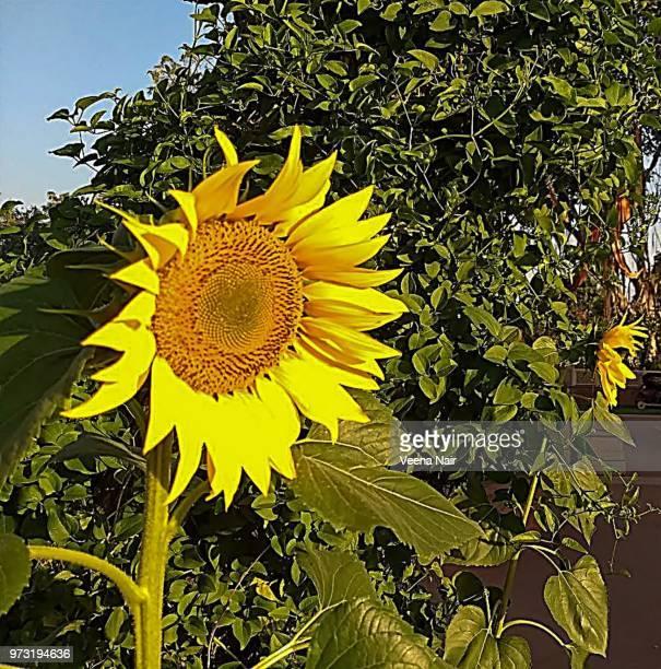 Sunflower in the garden/Ahmedabad