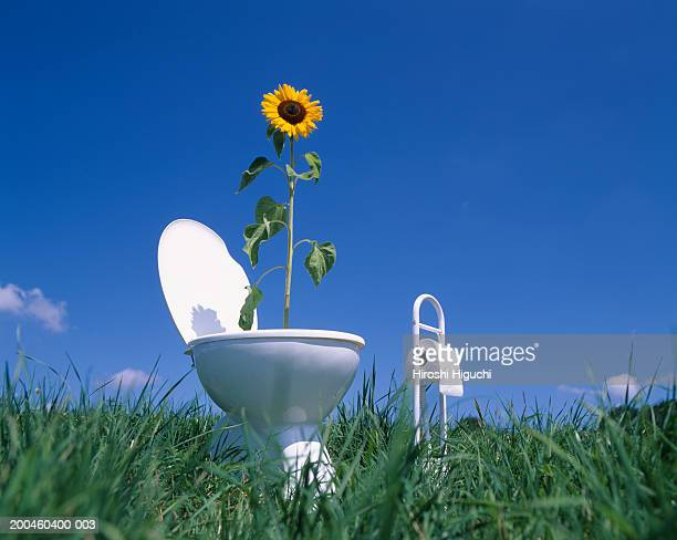 sunflower (helianthus annuus)in toilet in field, low angle view - funny toilet paper stock pictures, royalty-free photos & images