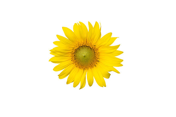 Free single flower white background images pictures and royalty sunflower isolated on white background mightylinksfo