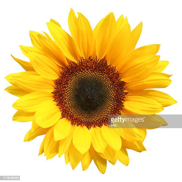 Sunflower stock photos and pictures getty images sunflower isolated mightylinksfo Choice Image