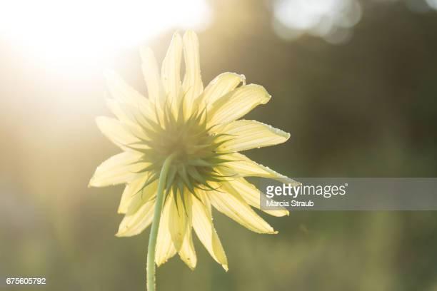 Sunflower on a Summer Day