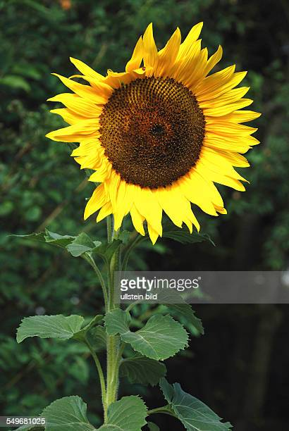 Sunflower on a summer's day in Bavaria Helianthus annuus