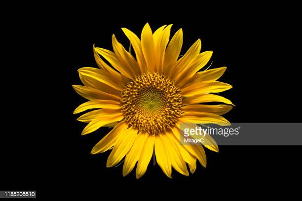 sunflower on black background - flowering plant stock pictures, royalty-free photos & images