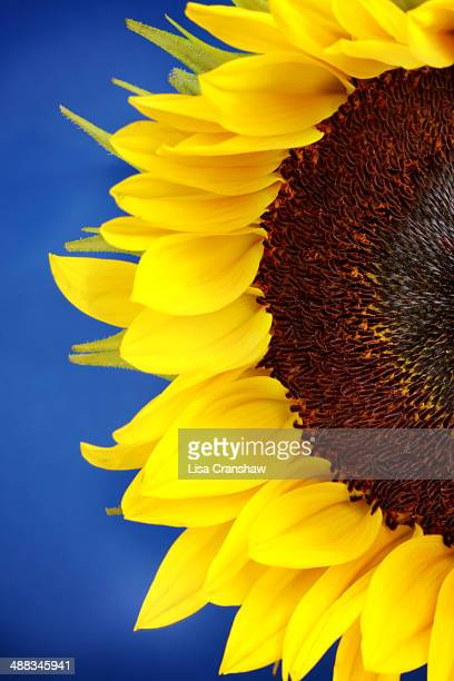 sunflower on blue - lisa cranshaw stock pictures, royalty-free photos & images