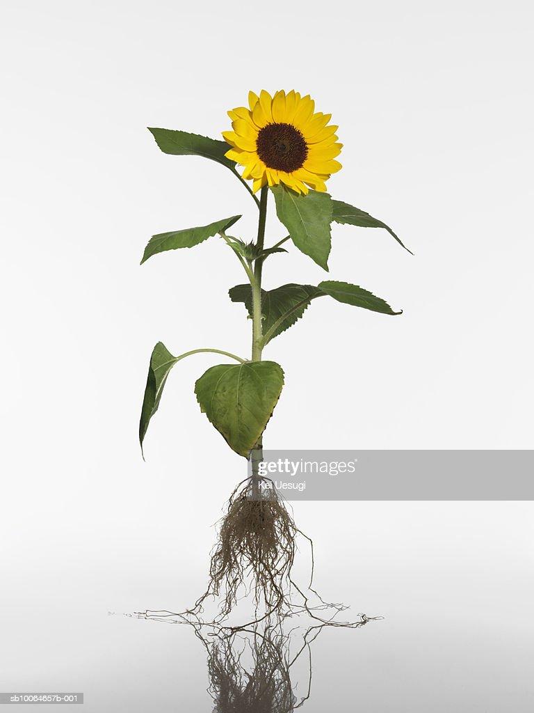 Sunflower (Helianthus annuus) on white background : Bildbanksbilder