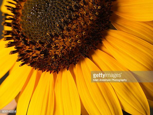 Sunflower (Helianthus sp.), overhead view, close-up
