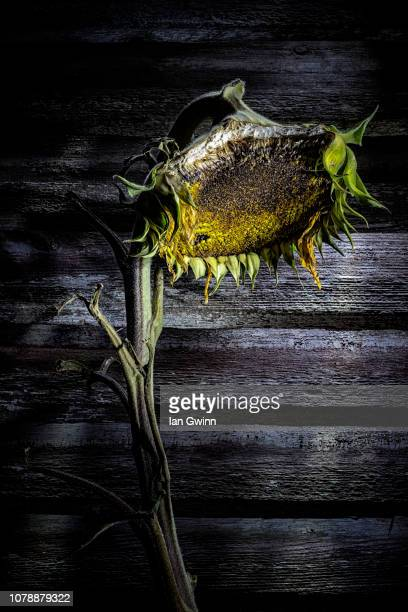 sunflower - ian gwinn stock photos and pictures