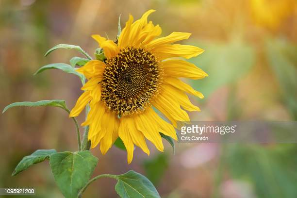 sunflower - cris cantón photography stock pictures, royalty-free photos & images