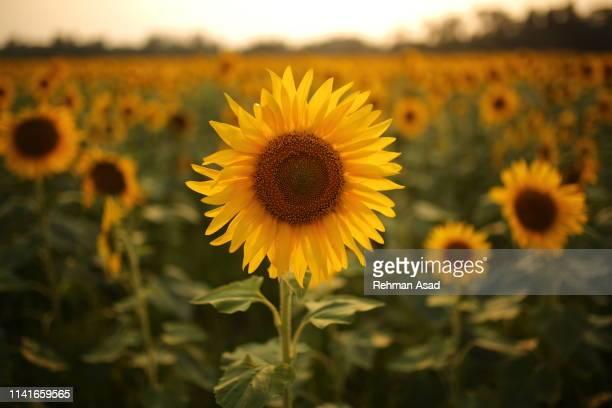 sunflower - 果樹の花 ストックフォトと画像