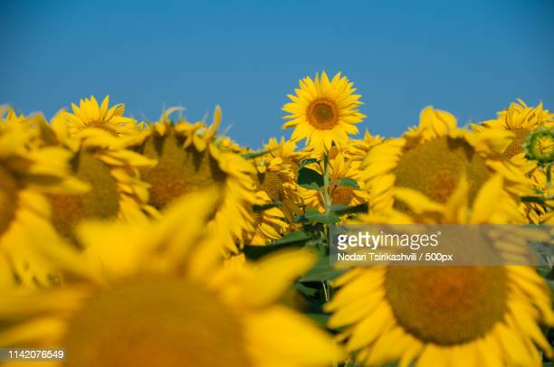 sunflower - ukraine landscape stock pictures, royalty-free photos & images