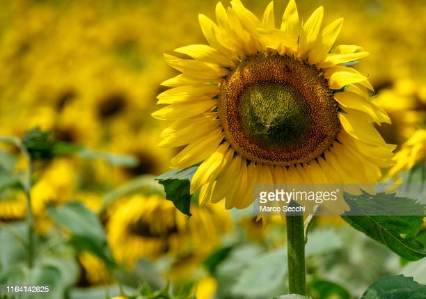 sunflower - marco secchi stock photos and pictures