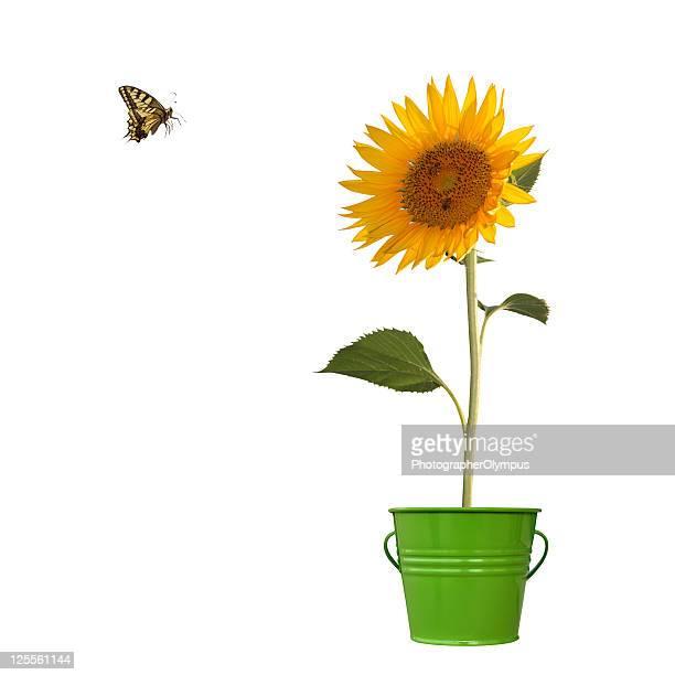 sunflower - girassol imagens e fotografias de stock