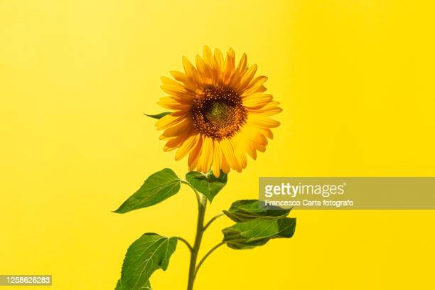 sunflower - sunflower stock pictures, royalty-free photos & images