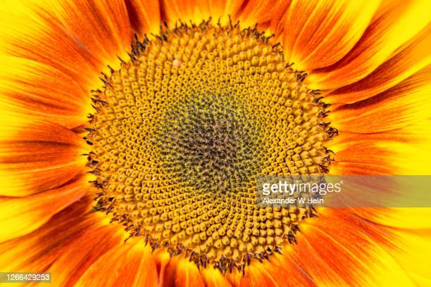 sunflower - petal stock pictures, royalty-free photos & images