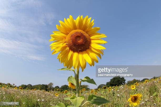 "sunflower - ""paul mansfield photography"" stock pictures, royalty-free photos & images"