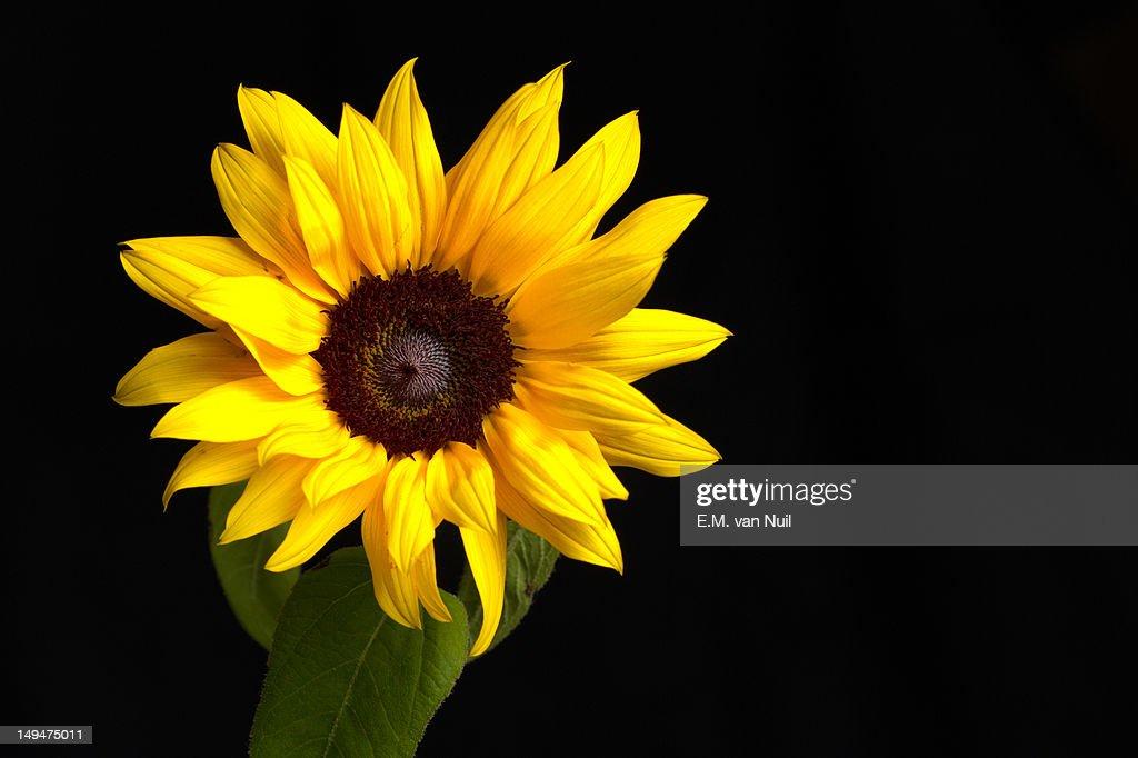 Sunflower : Stockfoto