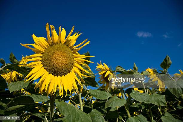 sunflower - mlenny stock pictures, royalty-free photos & images