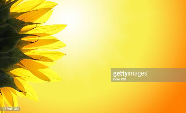sunflower - sonnig stock pictures, royalty-free photos & images