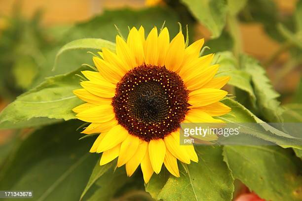 sunflower - pejft stock pictures, royalty-free photos & images