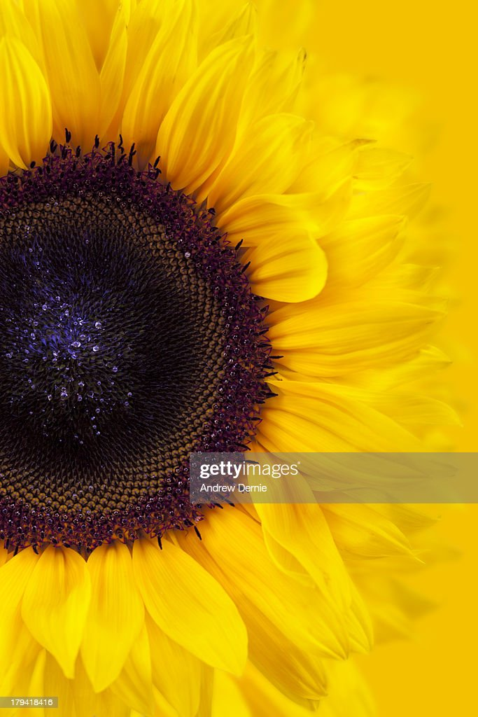 Sunflower : Foto de stock