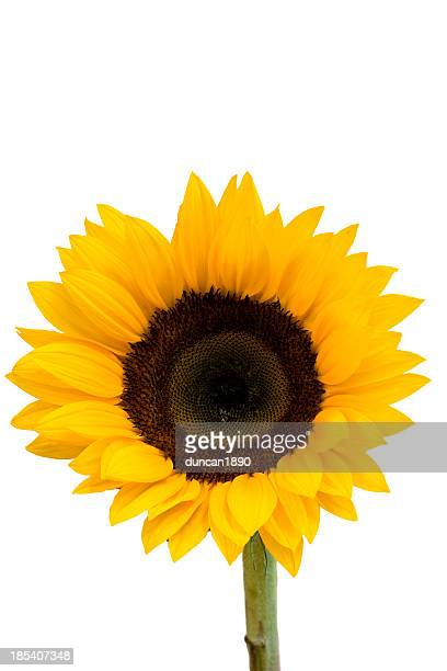 - sonnenblume - einzelveranstaltung stock-fotos und bilder