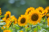 Sunflower (Himawari)