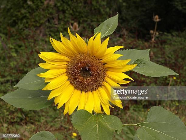sunflower - ollo stock-fotos und bilder