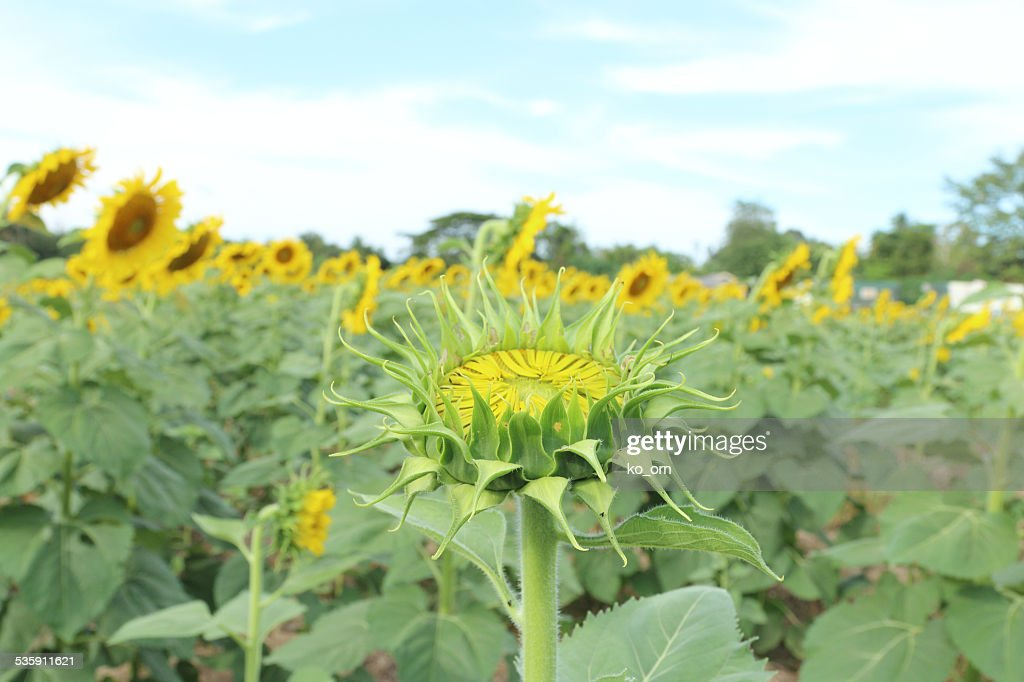 Sunflower : Foto de stock