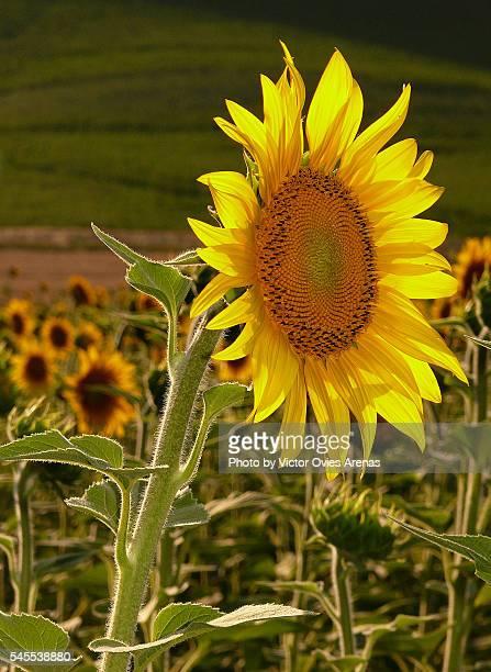 sunflower - victor ovies fotografías e imágenes de stock