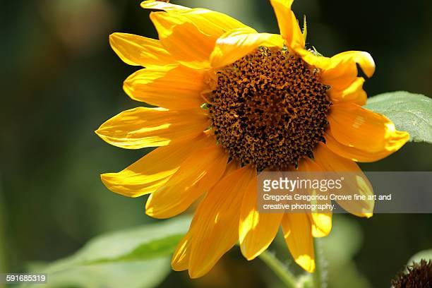 sunflower - gregoria gregoriou crowe fine art and creative photography stockfoto's en -beelden
