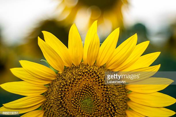 sunflower - margarine stock pictures, royalty-free photos & images
