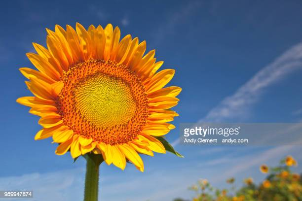 sunflower - andy clement stock photos and pictures