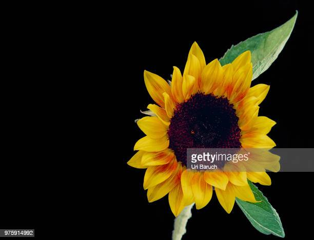 sunflower - barulho stock pictures, royalty-free photos & images