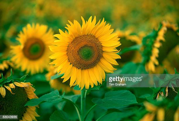Sunflower plant in the Loire Valley in France