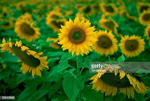 Sunflower plants in the Loire Valley in France
