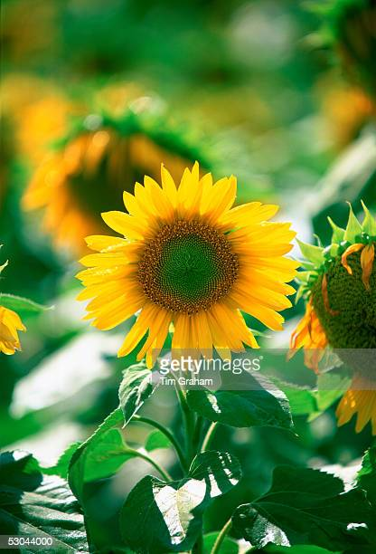 Sunflower plants standing tall in the Loire Valley in France