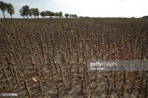 Sunflower plants stunted in size and height stand at a parched sunflower field at Goersdorf on August 15 2018 near Golssen Germany Southern...